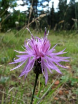 Centaurea vlachorum