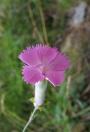 Dianthus haematocalyx ssp pindicola