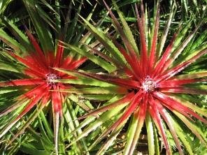 Bromelia laciantha