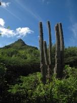 The Kadushi cacti-Cereus repandus