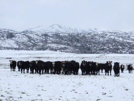 cattle snow 2