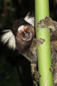 Callithrix penicillata or mico-estrela in Rio de Janeiro, Brazil © Siel Wellens