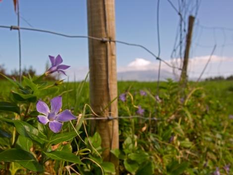Flower Pico