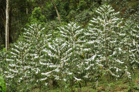 Coffee shrubs in Ethiopia mass-flowering for 1-3 days (c) Siel Wellens, 2016