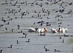 Dalmatian pelicans surrounded by cormorans By Dimitris