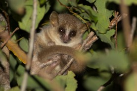 Golden-Brown Mouse Lemur